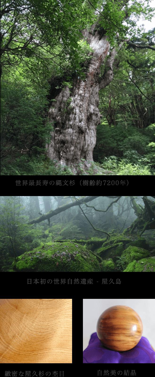 世界最長寿の縄文杉(樹齢約7200年),日本初の世界自然遺産 - 屋久島,緻密な屋久杉の杢目,自然美の結晶
