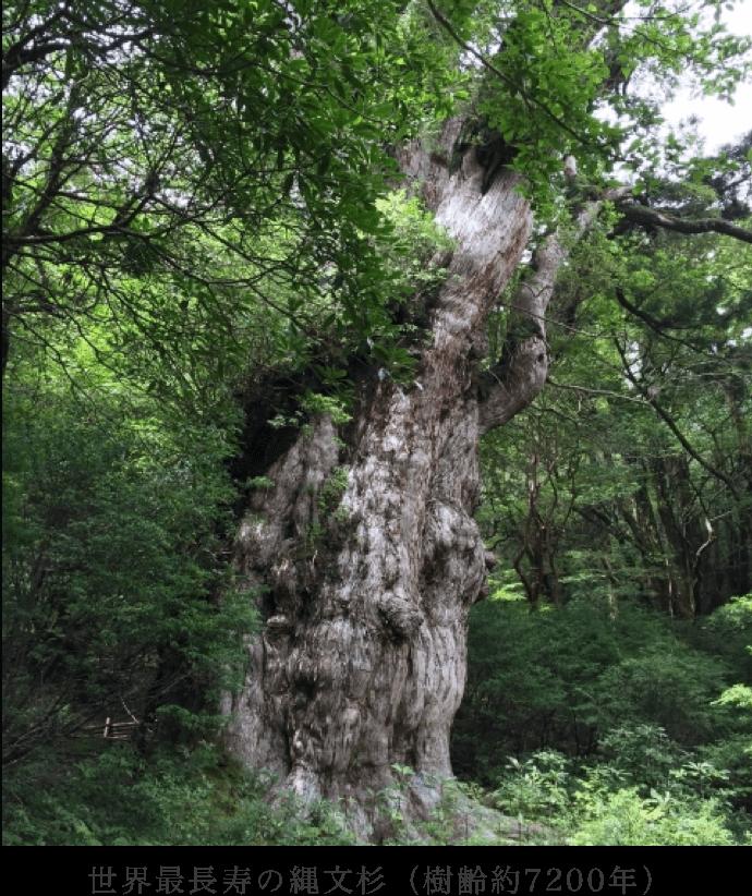 世界最長寿の縄文杉(樹齢約7200年)